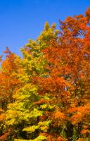 Maples in Vibrant Autumn