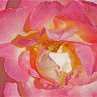 Rose Close-up Art Prints & Posters by Cecly Corbett