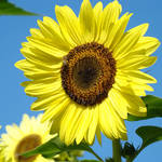 """SUN FLOWERS Art Prints Yellow Sunflower Floral"" by BasleeTroutman"