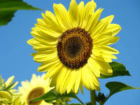 SUN FLOWERS Art Prints Yellow Sunflower Floral