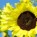 """Sunflowers Art Prints Summer Garden Botanical"" by BasleeTroutman"