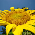 """Sunflower Art Print Blue Sky Floral Baslee"" by BasleeTroutman"