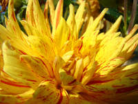Yellow Dahlia Flower Art Print Bright Dahlias