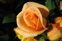 Peachy Rose Flower