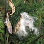 """Milkweed Pod"" by LyndaLehmann"