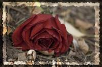 Discarded Rose