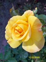 yellow Rose 008