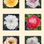 """""""Rose Collection 1"""" by yourimpressions"""
