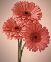 three gerberas #1