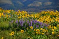 Spring Wildflowers In Bloom At Rowena Crest
