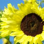 """Holiday Christmas Gifts SUNFLOWER Art Baslee"" by BasleeTroutman"