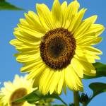 """CHRISTMAS GIFTS Sun Flower Art Prints Baslee"" by BasleeTroutman"