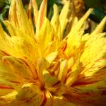 """CHRISTMAS ART GIFTS Yellow Dahlia Flower"" by BasleeTroutman"