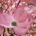 """HOLIDAY GIFTS Pink Dogwood Flower Trees"" by BasleeTroutman"