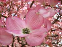 HOLIDAY GIFTS Pink Dogwood Flower Trees