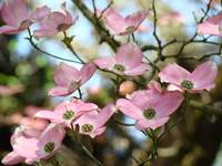CHRISTMAS GIFTS Pink Dogwood Tree Flowers