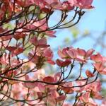 """CHRISTMAS TREES Gifts Pink Dogwood Flowers"" by BasleeTroutman"