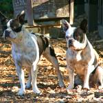 """boston terriers"" by artfilmusic"