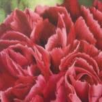 """January Flower: Carnation"" by janaelehto"
