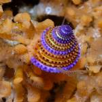 """Jeweled top snail"" by hershmanphoto"