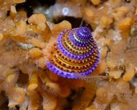 Jeweled top snail