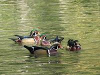 Nothin but a Wood Duck