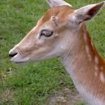 """""""Profile of  """"the gentle deer"""""""" by tamtama"""