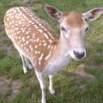 """the gentle deer"" by tamtama"