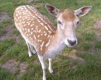 the gentle deer