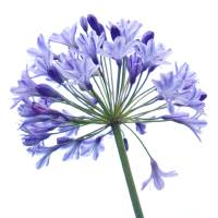 Agapanthus Art Prints & Posters by tamtama