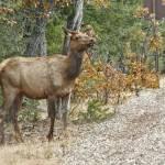 """Elk"" by Arizona_Photography"
