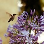 """Hummingbird Suspended"" by photoshimona"