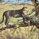 """Serengeti Leopard Kill"" by valeska"
