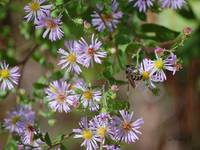 Purple Asters - Symphyotrichum concolor