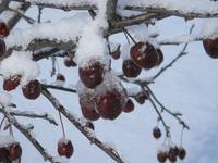 Red Berries on Winter Tree