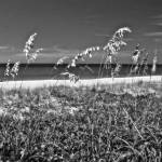 """Sea Oats Painting in BW II"" by Cynthia_Burkhardt"