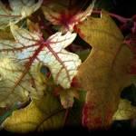 """Autumn Leaves"" by tammysphotos"