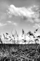 Sea Oats in BW