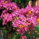 """Crepe Myrtle"" by aglaeafinearts"