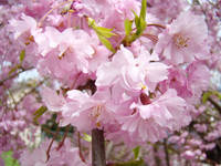 FLOWER BLOSSOMS Art Pink Spring Tree Blossom