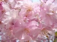PASTEL PINK BLOSSOMS Favorite Flower Tree Blossoms