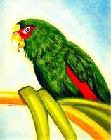 White Fronted Amazon Parrot  Portrait Art Print