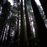 """Redwoods in Muir Woods, CA"" by fineartphoto"