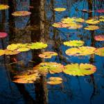 """Lilly Pads"" by louisdallara"
