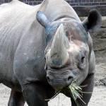 """""""Rhino"""" by sabre1957"""