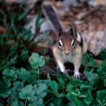 """Chipmunk"" by fineartphoto"