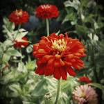 """red zinnia"" by mandalaworld"