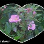 """wild rose heart frame"" by casperstar0529"