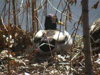 mallard in bushes