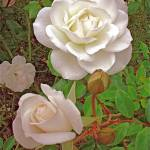"""White Antique Roses"" by Corbett"